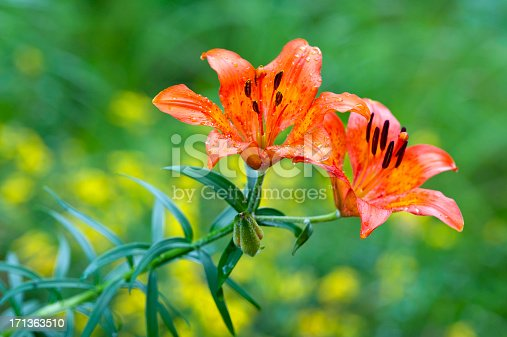 Lilium bulbiferum, common names Orange Lily, Fire Lily or Tiger Lily, is a European species with bright orange flowers that blooms in summer. These plants grow in mountain meadows and rocks.