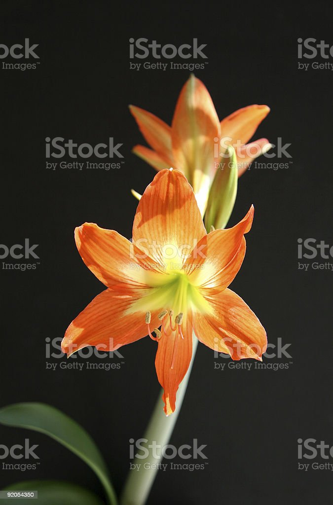 Orange Lily Flower royalty-free stock photo