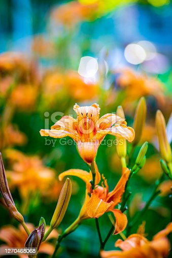 Orange lily flowers in the field closeup macro detailed shot