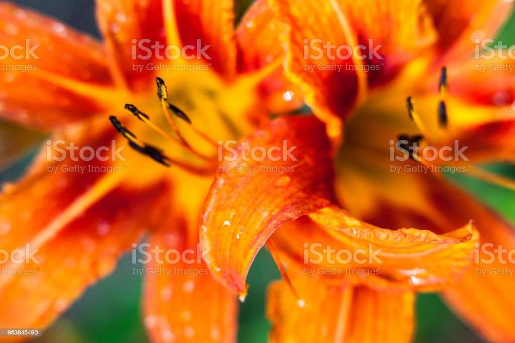 Orange lily flowers - Royalty-free Beauty Stock Photo