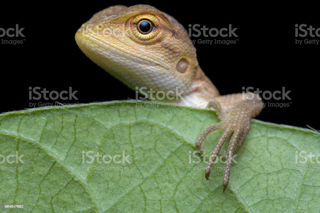 Orange Lizard royalty-free stock photo