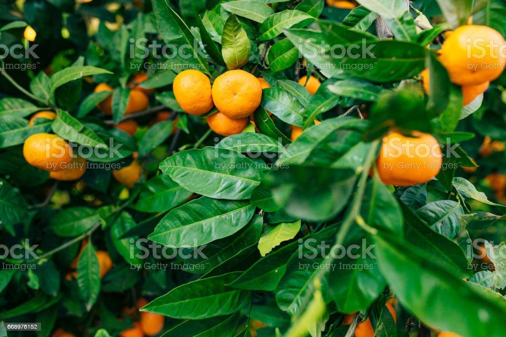 Orange mandarin on the tree. Ripe tangerine. Montenegrin mandari foto stock royalty-free