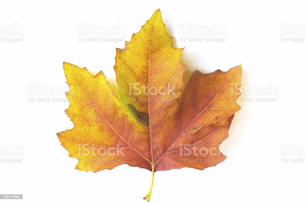 Orange maple leaf royalty-free stock photo