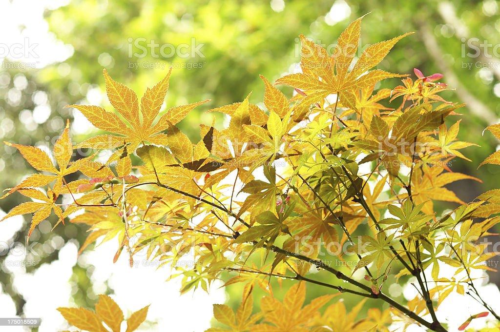 Orange Maple Leaves royalty-free stock photo