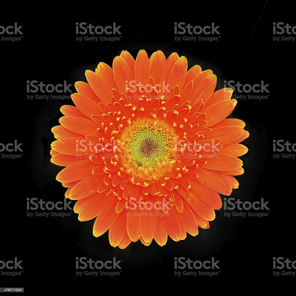 Orange marigold flower isolated on black stock photo