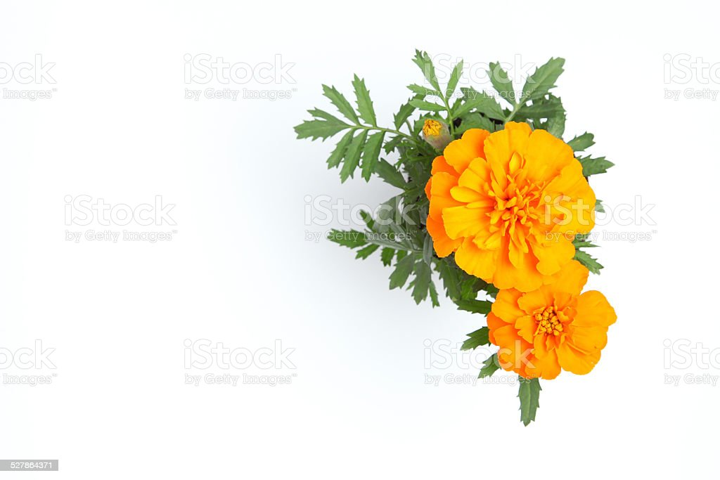 orange marigold flower stock photo