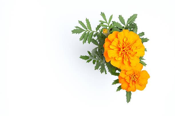 flores de laranja, cravo-de-defunto - uma única flor - fotografias e filmes do acervo