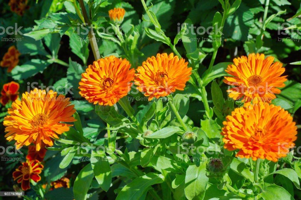 Flores de calêndula laranja no canteiro - foto de acervo
