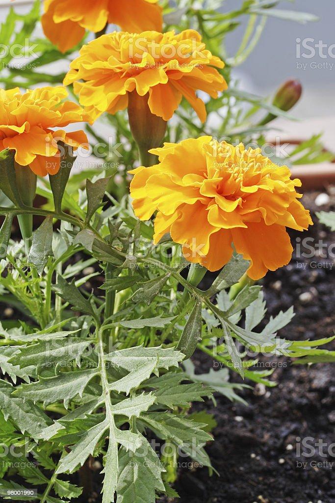 Orange Marigold royalty-free stock photo