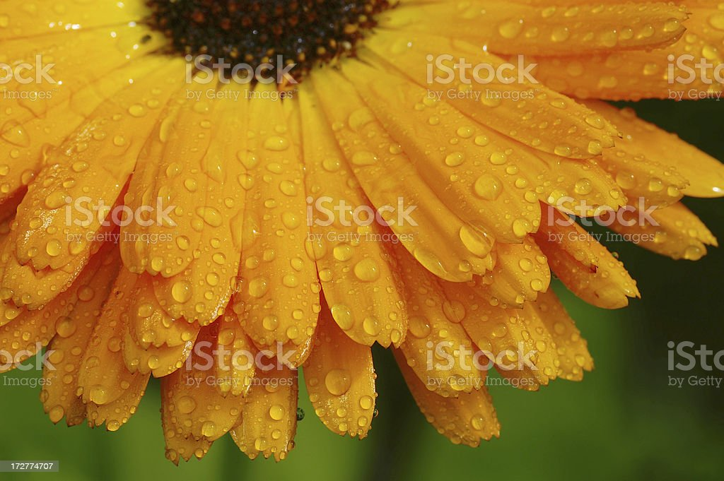 Orange Marigold with raindrops royalty-free stock photo