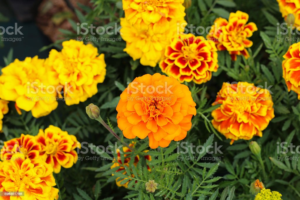 Orange marigolds growing in the garden royalty-free stock photo