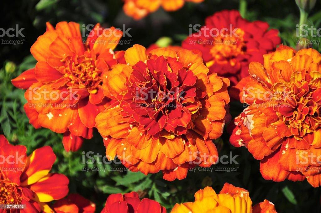 Calendulafeldern (Blumen) – Foto