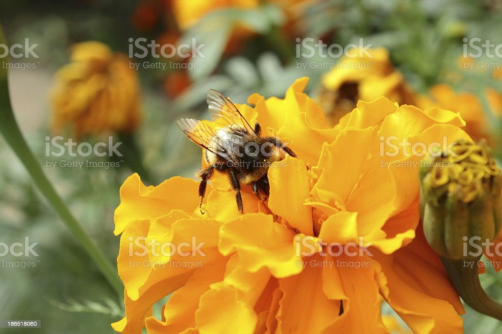 Orange marigolds with bee royalty-free stock photo