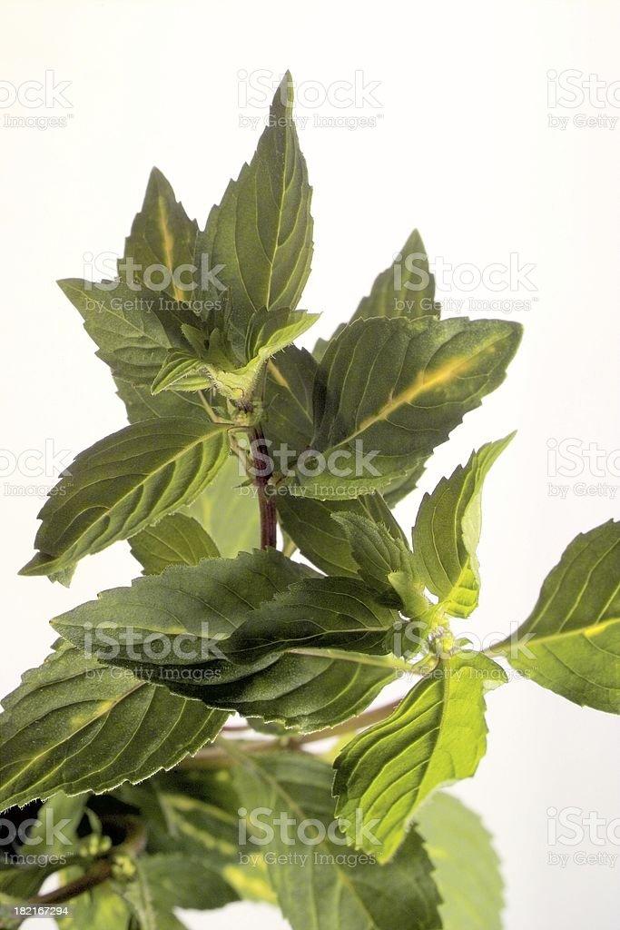 Orange Mint royalty-free stock photo