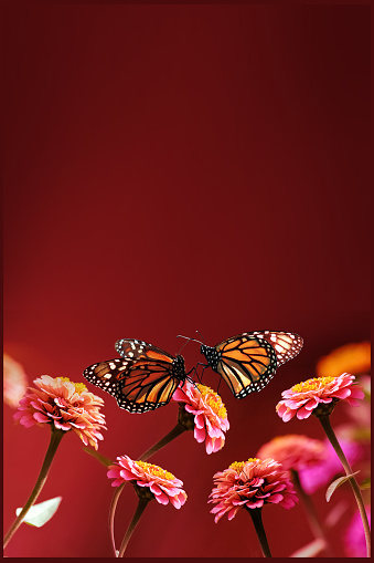 Orange monarch butterflies and pink flowers on a bright red background. Summer spring background. Free space for text.