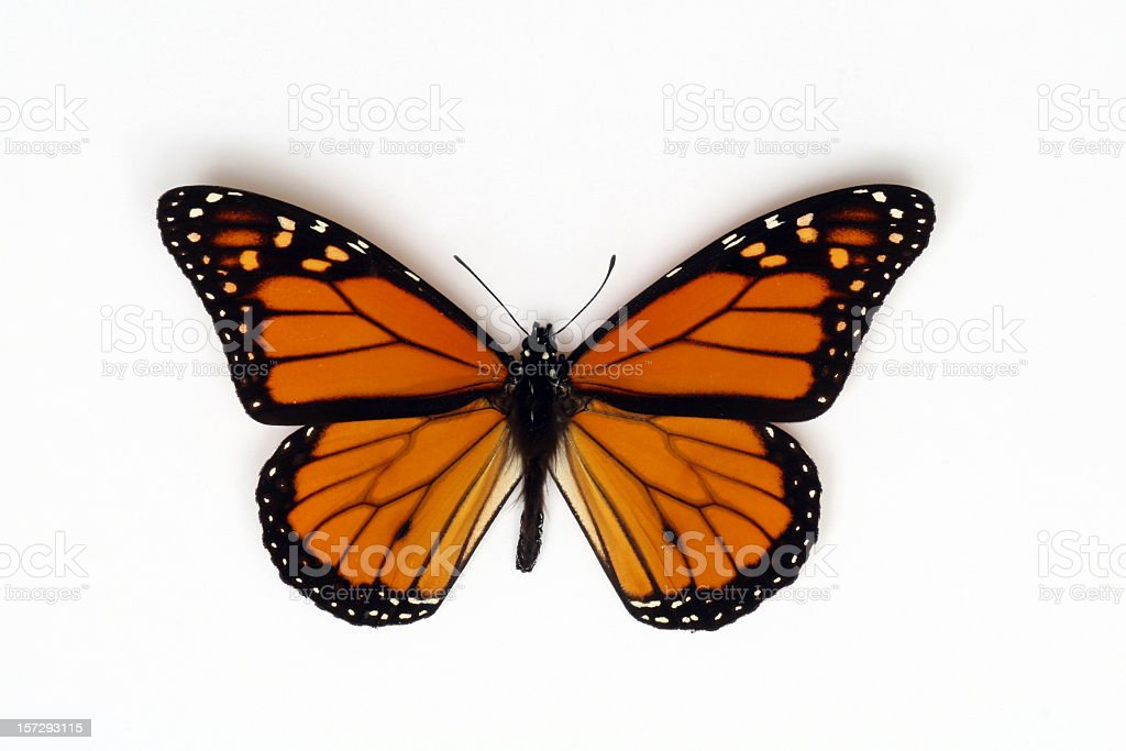 Orange Monarch Butterfly Isolated on White Background royalty-free stock photo
