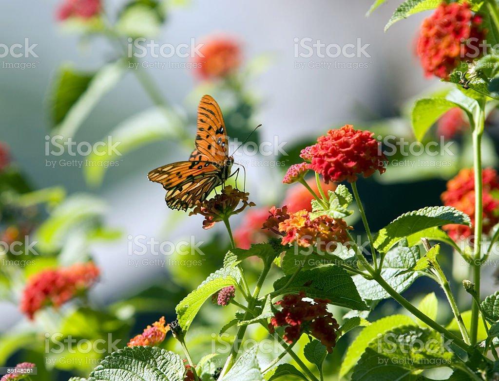 Orange Monarch Butterfly on Lantana royalty-free stock photo