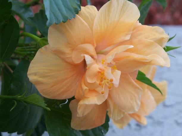 Orange multi-petaled hibiscus flower stock photo