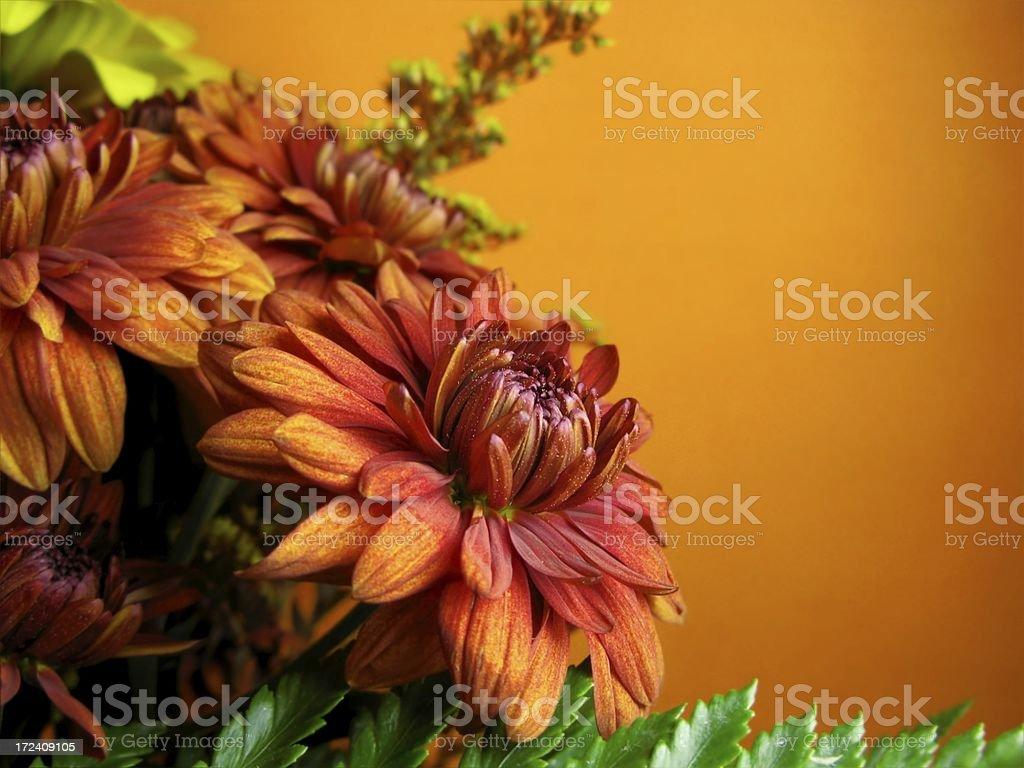 Orange Mum royalty-free stock photo