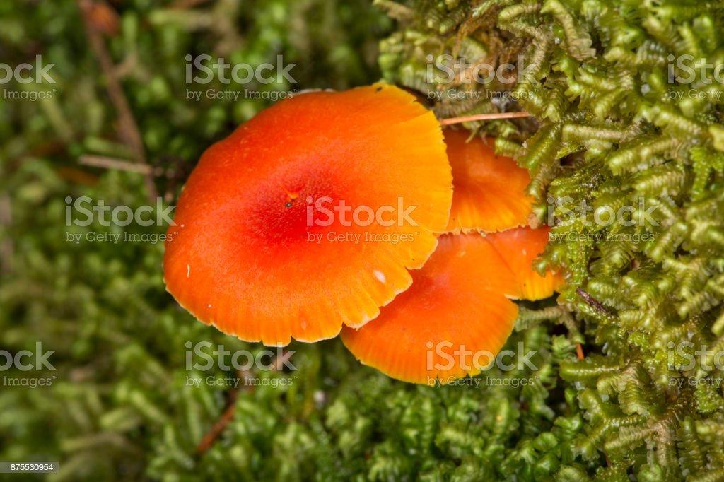 Orange mushrooms among liverworts at Mud Pond in New Hampshire. stock photo