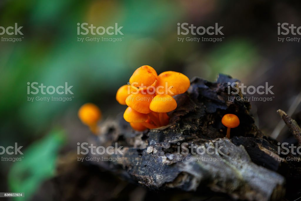 Orange Mushrooms stock photo
