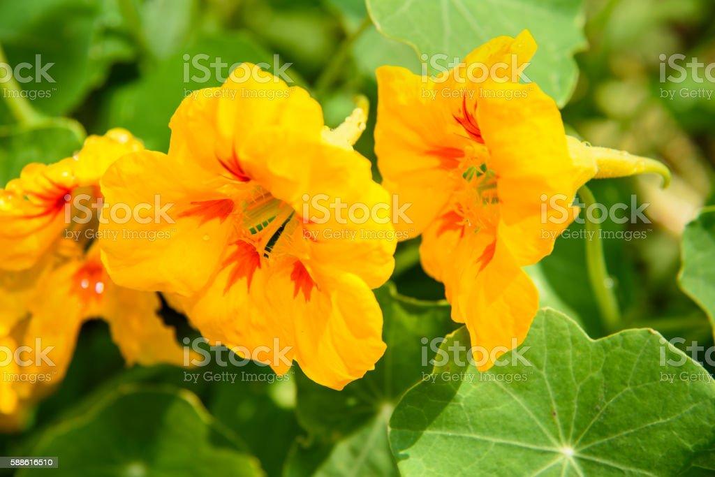 Orange Nasturtium flower stock photo
