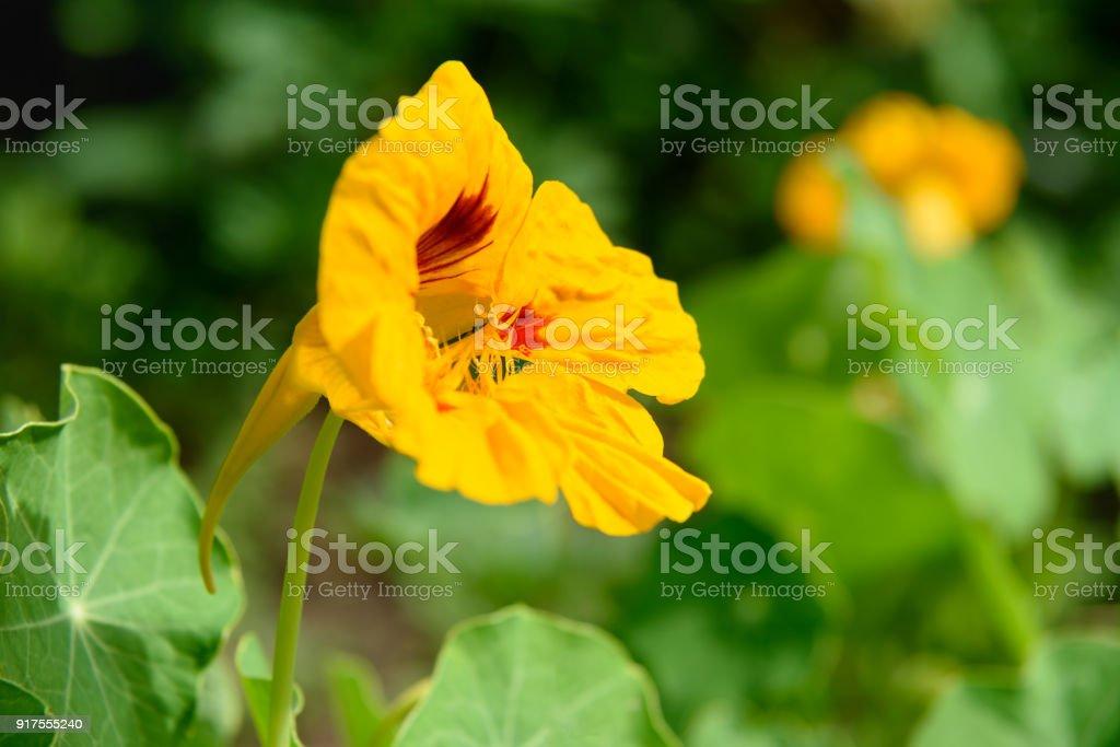 Orange Nasturtium flower. Tropaeolum majus stock photo