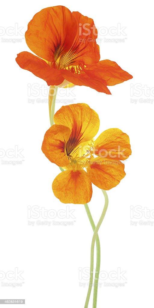 Orange nasturtium flowers standing over a white background stock photo