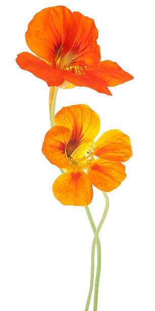 orange nasturtium flowers standing over a white background - nasturtium stock photos and pictures