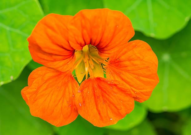 Orange Nasturtium stock photo