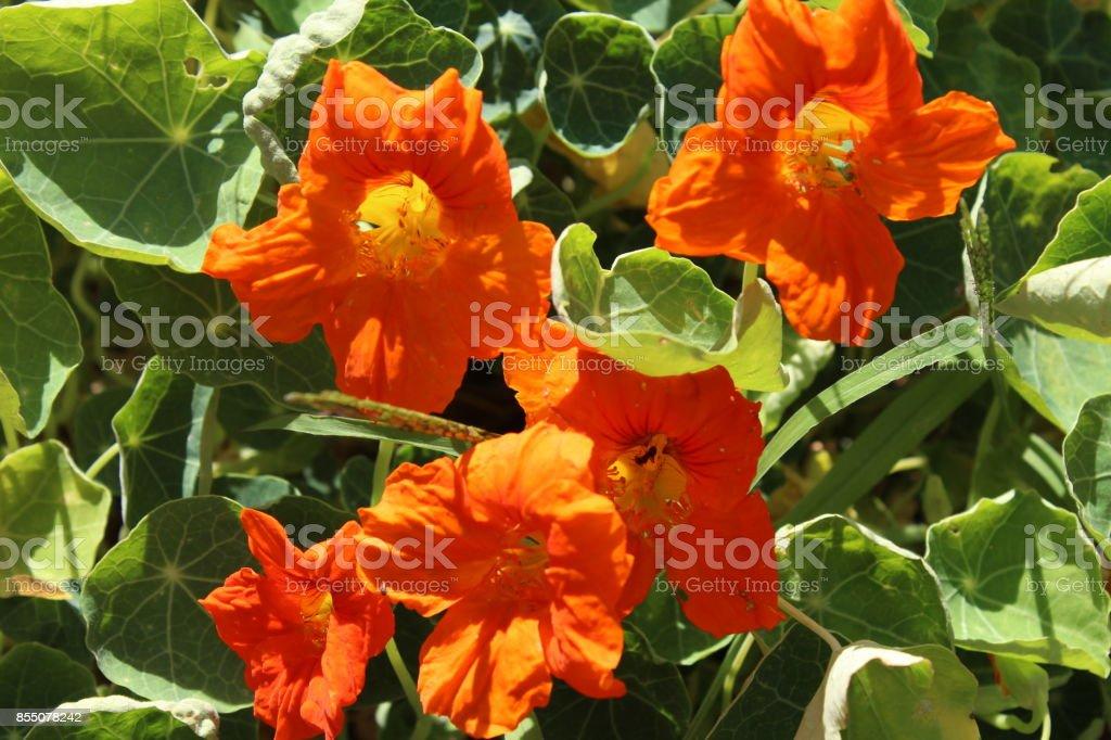 Orange Nasturtium (Tropaeolum) stock photo