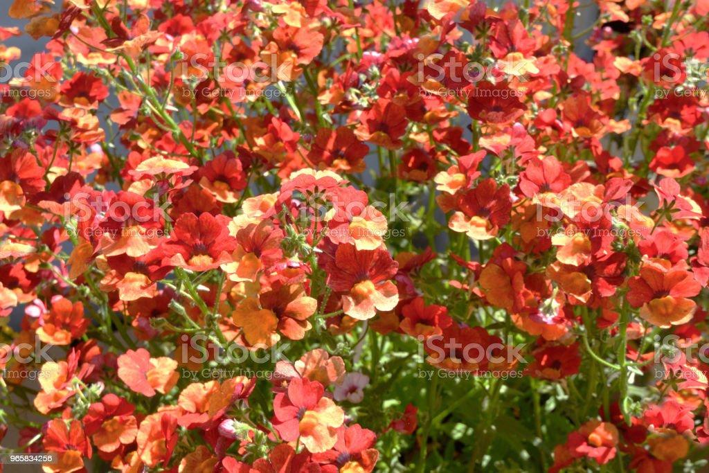 Orange Nemesia Flowers - Royalty-free Backgrounds Stock Photo