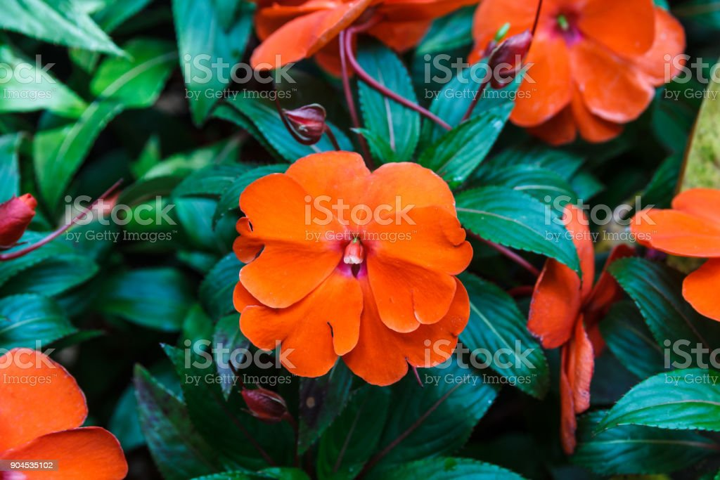 Orange New Guinea Impatiens. stock photo