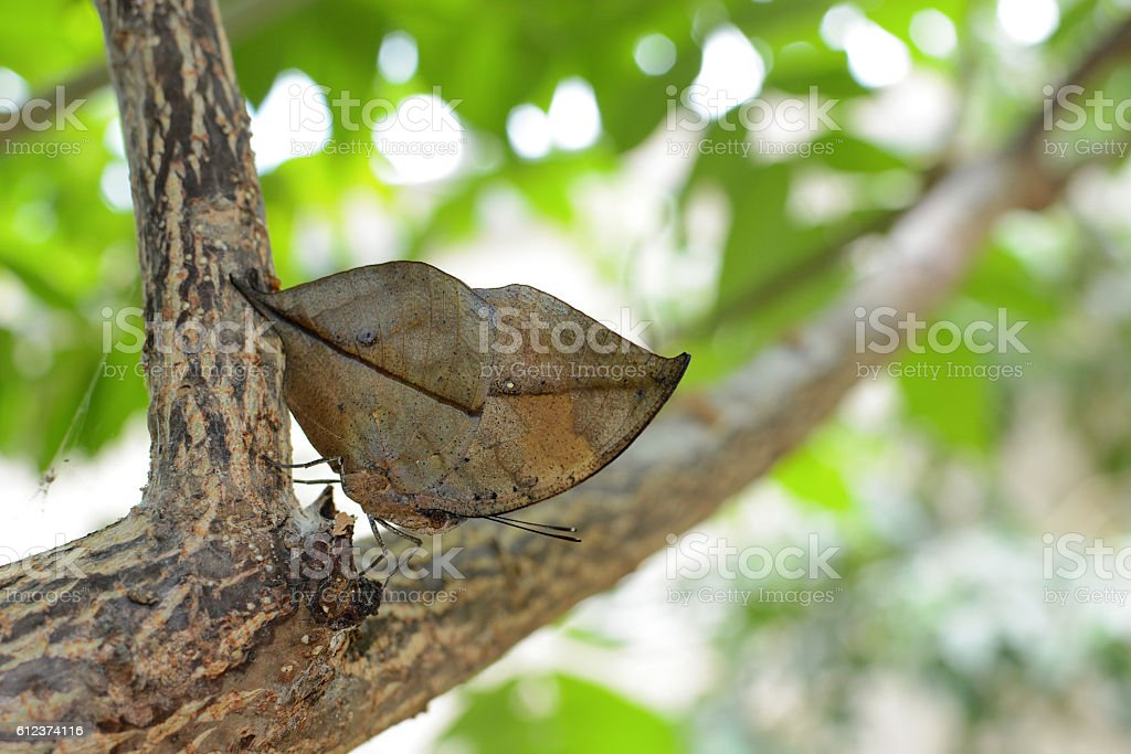 Orange oakleaf butterfly displaying near perfect immitation of a leave stock photo