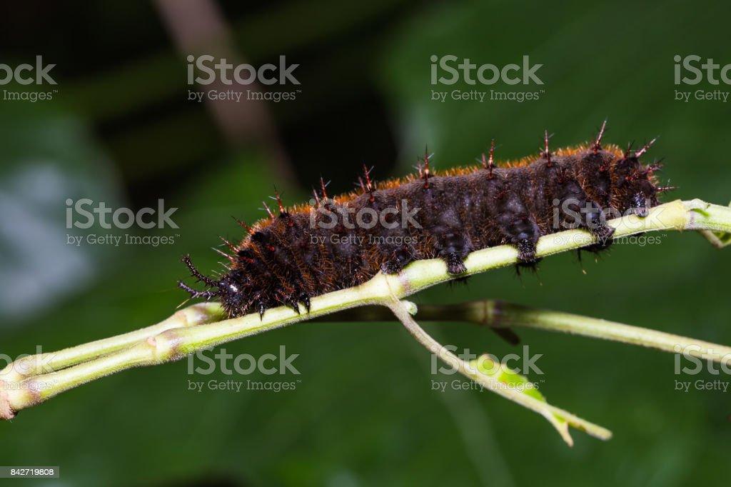 Orange Oakleaf caterpillar stock photo