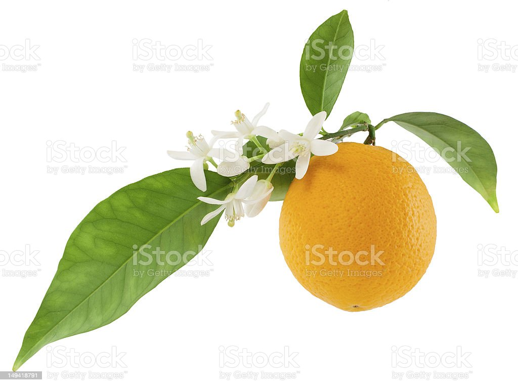 Orange on vine with flowers on white background stock photo
