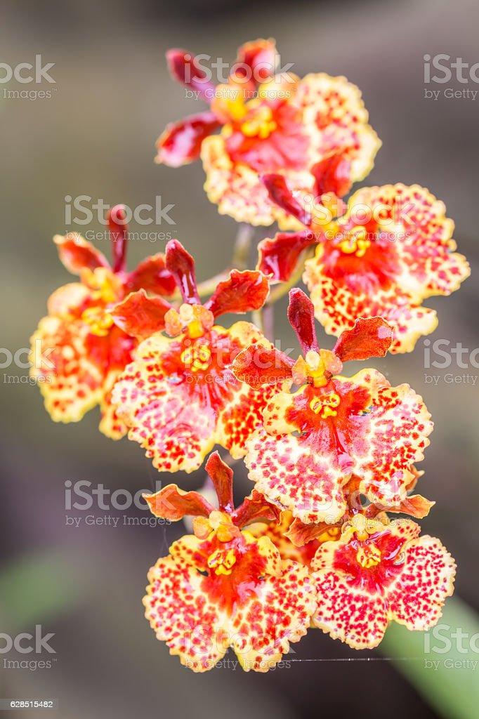 Orange Oncidium orchid. stock photo