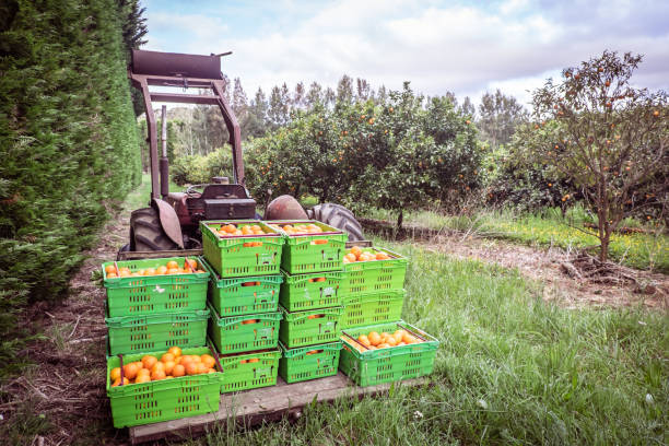 Orange orchard in Kerikeri, Northland, New Zealand NZ - harvest of citrus fruit in plastic crates on pallet of vintage tractor stock photo