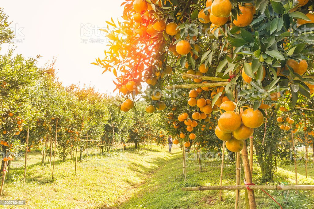 Orange orchard in morning. stock photo