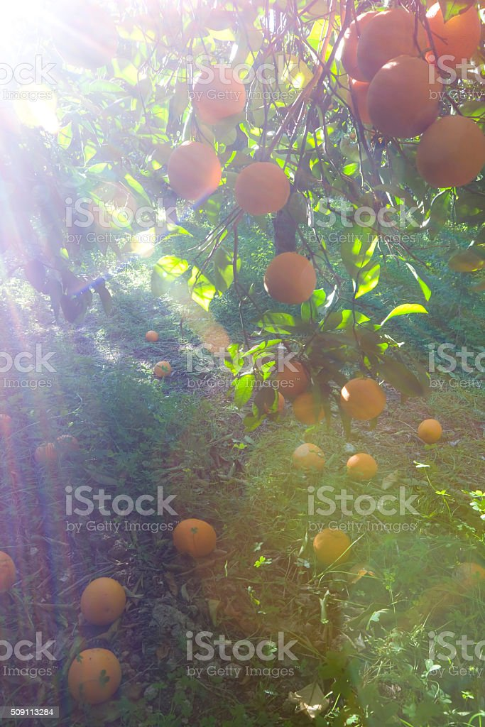 Orange orchard in morning sun Orange orchard, organic farm, in morning sun. Sicily in February. Light effects and flares, bokeh.  Citrus Fruit Stock Photo