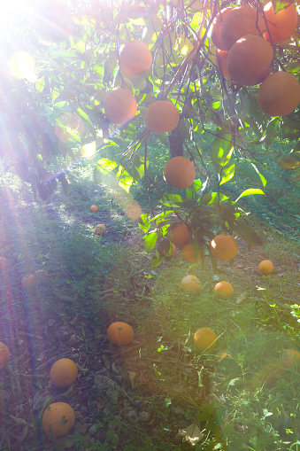 Orange Orchard In Morning Sun Stock Photo - Download Image Now