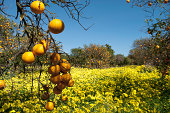 Spring sunshine bathes carpet of yellow flowers in orange orchard.Please see some similar pictures from my portfolio:
