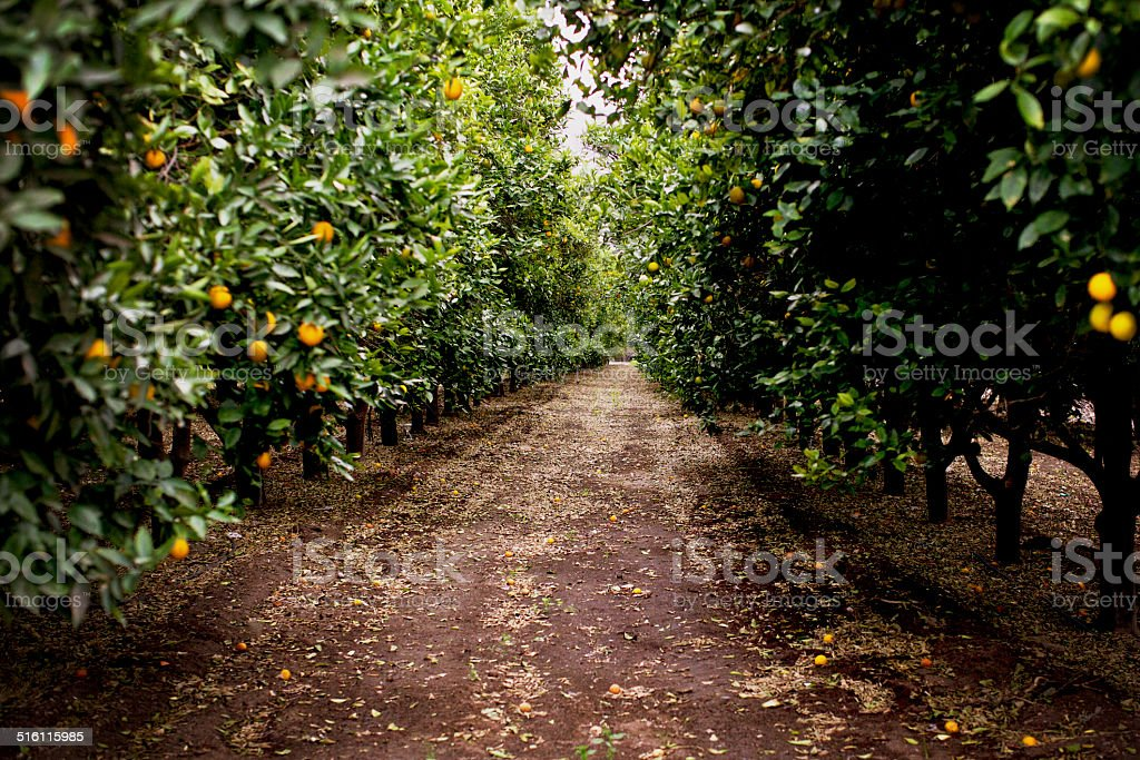 Orange Orchard stock photo