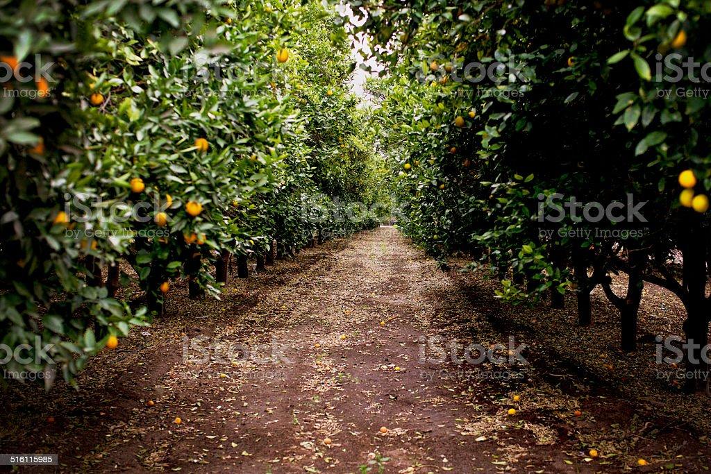 Huerta de naranjas - foto de stock