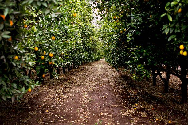 orange orchard - wäldchen stock-fotos und bilder