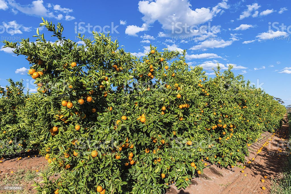 Orange Orchard with Ripe Fruit, Australia stock photo