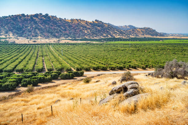 Orange orchards near Bakersfield California USA stock photo