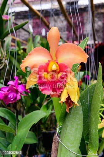Orange orchid cattleya close up.