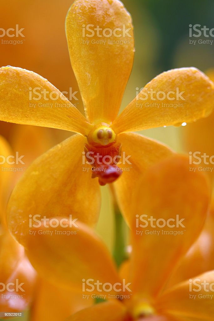 Orange Orchid III royalty-free stock photo