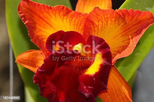 Beauty Orange Orchid